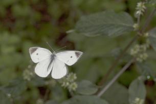 飛行中のモンシロチョウの写真素材 [FYI04596043]