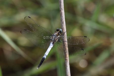 枯れた草の茎にとまるシオカラトンボの雄の写真素材 [FYI04596062]