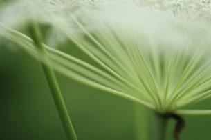 屋外で撮影したシシウドの花の写真素材 [FYI04596064]