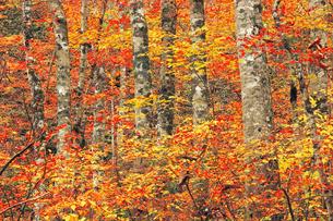 11月 奥会津の恵みの森の紅葉の写真素材 [FYI04596083]