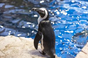 ケープペンギンの写真素材 [FYI04596154]
