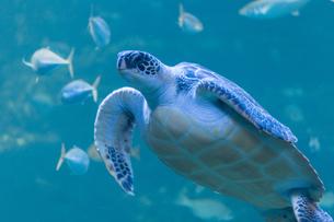 アオウミガメの遊泳の写真素材 [FYI04596169]
