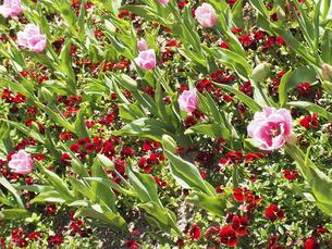 ピンク色のチューリップの写真素材 [FYI04596198]