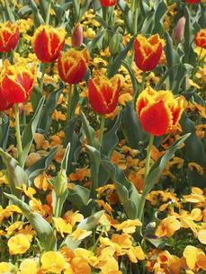 オレンジ色のチューリップの写真素材 [FYI04596204]