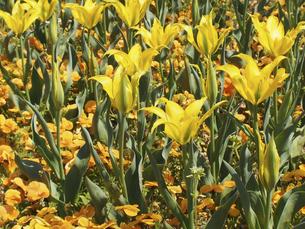 黄色のチューリップの写真素材 [FYI04596208]