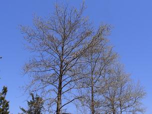 青空とフウの木の並木の写真素材 [FYI04596210]
