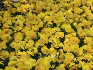 黄色のビオラの写真素材 [FYI04596213]