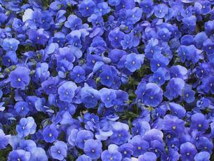 ブルーのビオラの写真素材 [FYI04596214]