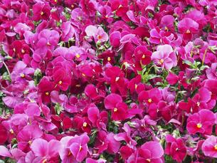 ピンク色のビオラの写真素材 [FYI04596215]