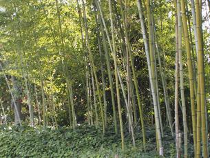 竹林の写真素材 [FYI04596255]