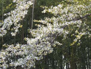 桜の木の写真素材 [FYI04596260]