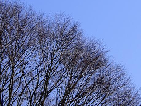 青空とケヤキの写真素材 [FYI04596268]
