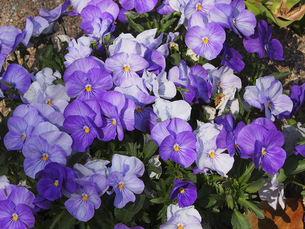 紫色のビオラの写真素材 [FYI04596270]
