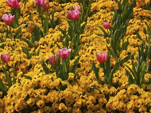 黄色のビオラとチューリップの写真素材 [FYI04596274]