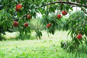 桃の収穫時期の写真素材 [FYI04596301]