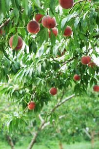 桃の収穫時期の写真素材 [FYI04596304]