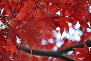 赤い紅葉の葉のアップの写真素材 [FYI04596389]