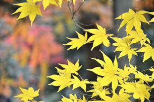 黄色い紅葉の葉のアップの写真素材 [FYI04596391]