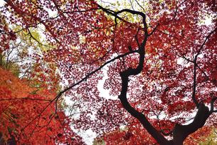 あざやかな紅葉の葉と樹木の写真素材 [FYI04596392]
