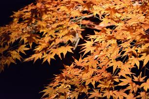 ライトアップされた赤い紅葉の葉の写真素材 [FYI04596402]