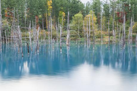 初秋の青い池の写真素材 [FYI04596491]