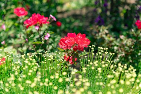 フラワーガーデンに咲く 夏の花の写真素材 [FYI04596553]