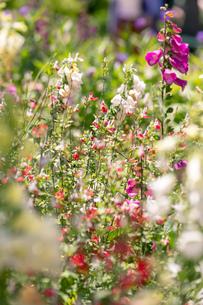フラワーガーデンに咲く 夏の花の写真素材 [FYI04596557]