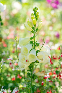 フラワーガーデンに咲く 夏の花の写真素材 [FYI04596558]