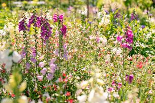 フラワーガーデンに咲く 夏の花の写真素材 [FYI04596559]