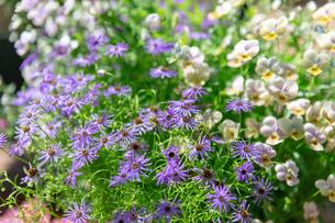 フラワーガーデンに咲く 夏の花の写真素材 [FYI04596565]
