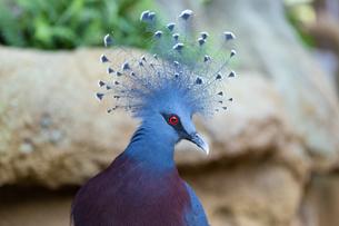 オウギバトの冠羽の写真素材 [FYI04596603]