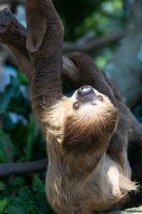 木を登るフタユビナマケモノの写真素材 [FYI04596618]