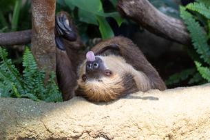 舌をのばすフタユビナマケモノの写真素材 [FYI04596629]