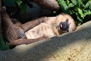 横になって休むナマケモノの写真素材 [FYI04596630]