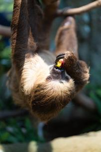 ぶらさがって餌を食べるフタユビナマケモノの写真素材 [FYI04596637]