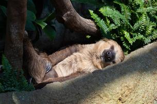 陽を浴びて横たわるフタユビナマケモノの写真素材 [FYI04596713]