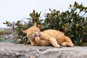 石垣の上で毛づくろいするチャトラの猫の写真素材 [FYI04596728]