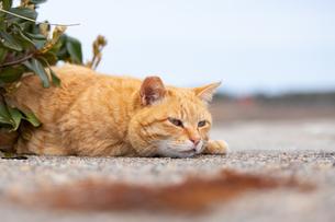 石塀に伏せるチャトラのネコの写真素材 [FYI04596729]