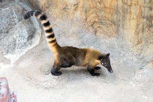 尻尾を立てて歩くアカハナグマの写真素材 [FYI04596734]