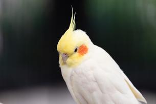 オカメインコ、頭部のアップの写真素材 [FYI04596738]