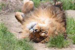 転がるオスのライオンの写真素材 [FYI04596754]
