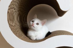 首をかしげる白い子猫の写真素材 [FYI04596764]