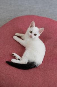 尻尾が黒い子猫の写真素材 [FYI04596771]