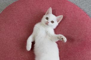 クッションの上で転がる白い子猫の写真素材 [FYI04596772]