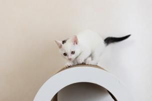 真剣に爪を研ぐ子猫の写真素材 [FYI04596774]