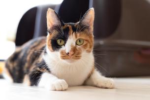 床で休む細身の三毛猫の写真素材 [FYI04596778]
