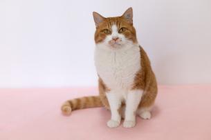 ピンクの床に座る茶白ネコの写真素材 [FYI04596779]