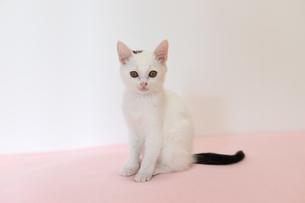 ピンクの床に座る子猫の写真素材 [FYI04596781]