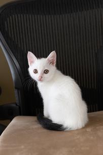 ビジネスチェアーに座る子猫の写真素材 [FYI04596782]