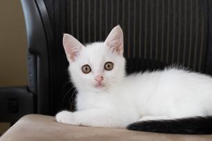 ビジネスチェアーに横たわる子猫の写真素材 [FYI04596783]